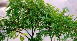 10 tác dụng của cây đinh lăng đối với sức khỏe