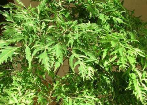 Lá cây đinh lăng cũng có tác dụng trị nhiều bệnh