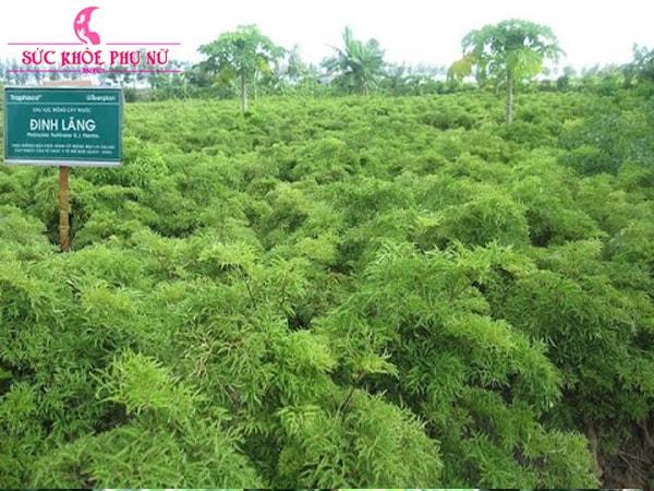 Cây đinh lăng lá nhỏ trồng để làm thuốc chữa bệnh
