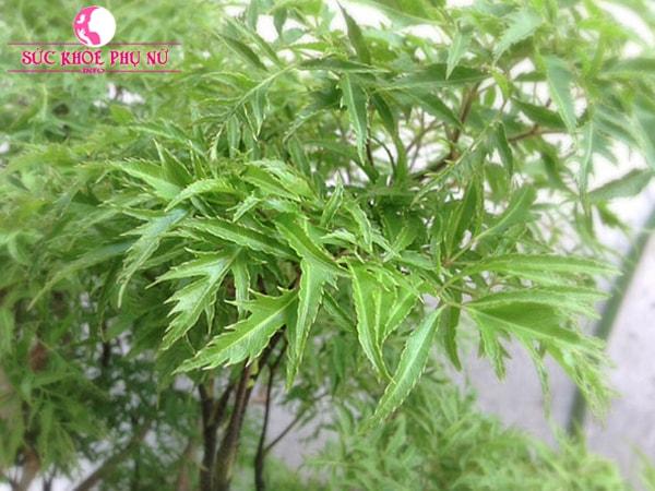 Lá đinh lăng là thảo dược quý được nhắc đến nhiều trong các bài thuốc dân gian