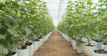 Những kỹ thuật cần biết khi xây dựng nhà lưới trồng dưa
