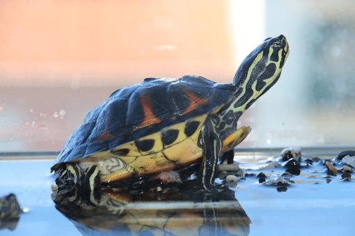 Cần đặt bể hoặc chậu rùa ở nơi có đủ ánh sáng mặt trời