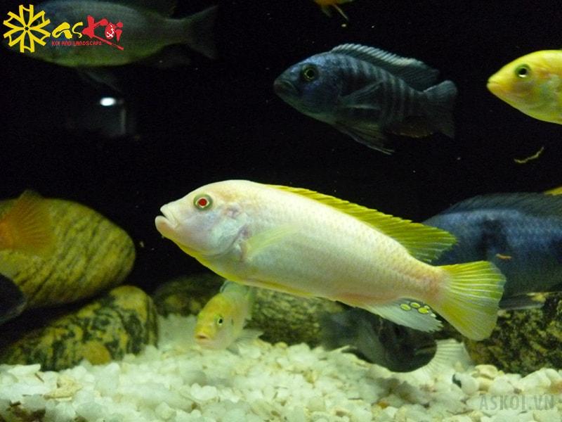 Cá Ali trắng