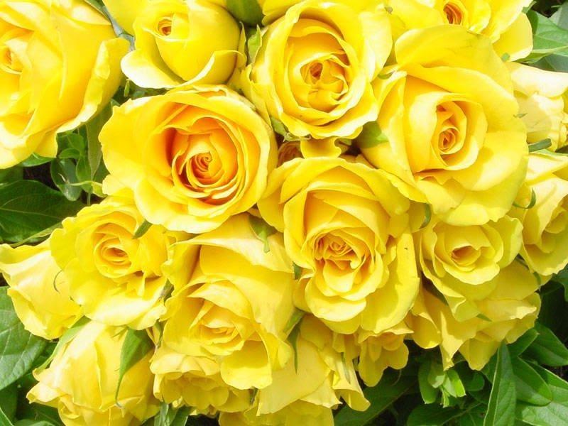 Hoa hồng vàng hợp tuổi Mậu Dần (1938, 1998) – Mệnh Thổ